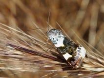Buntes Motte Acontia-lucida auf einer trockenen Spitze des Grases lizenzfreie stockfotografie