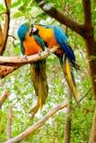 Buntes Paare Macawsküssen lizenzfreie stockfotografie