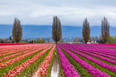 Buntes purpurrotes und rotes Tulpenfeld im Frühjahr Stockfotos