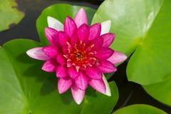 Buntes rosafarbenes Wasser lilly im See Stockfoto