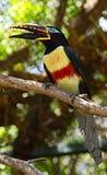 Buntes schönes Tukan auf einer Leiste lizenzfreie stockbilder