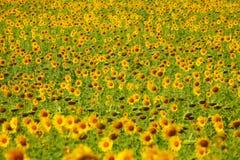 Buntes Sonnenblumenfeld in Thailand Stockfoto