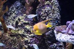 Buntes tropisches Fische swimmingwith blauer Seehintergrund stockfoto