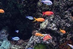 Buntes tropisches Fische swimmingwith blauer Seehintergrund stockbilder