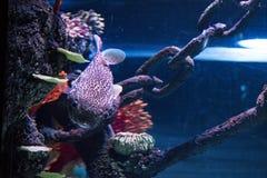 Buntes tropisches Fische swimmingwith blauer Seehintergrund lizenzfreies stockbild