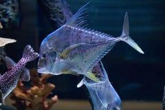 Buntes tropisches Fische swimmingwith blauer Seehintergrund lizenzfreie stockfotos
