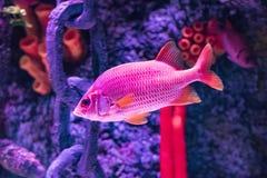 Buntes tropisches Fische swimmingwith blauer Seehintergrund lizenzfreie stockfotografie