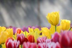 Buntes Tulpenfeld im Morgennebel (Weichzeichnung) Stockfotos