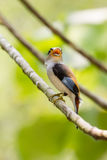 Buntes Vogel Silber-breasted broadbil Lizenzfreies Stockfoto