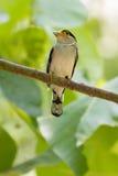 Buntes Vogel Silber-breasted broadbil Stockbild
