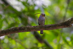Buntes Vogel Silber-breasted broadbil Stockfotografie