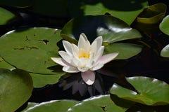 Buntes Wasser lilly in meinem Gartenteich Stockfotografie
