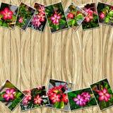 Buntfoto av Adeniumobesumen Royaltyfria Bilder