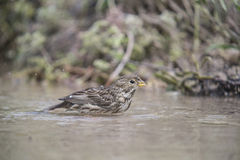 Bunting bird bathing. Bunting bird with a dip in the stream Royalty Free Stock Photo