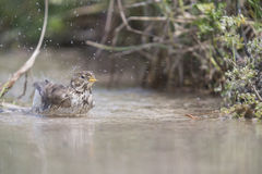 Bunting bird bathing. Bunting bird with a dip in the stream Stock Photos