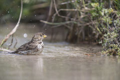 Bunting bird bathing. Bunting bird with a dip in the stream Stock Image