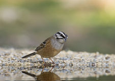 Bunting (Emberiza cia). The bunting is one of our most common and widespread emberícidos. It is a bit demanding bird which is installed on all types of streams Royalty Free Stock Photos