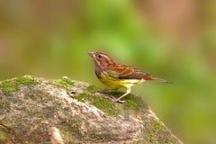 Bunting van de kastanje een kleurrijke vogel Stock Afbeeldingen