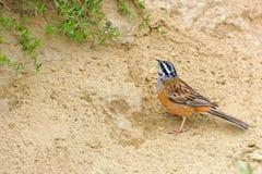 Bunting van de rots. Achtergrond met mooie vogel Stock Foto's