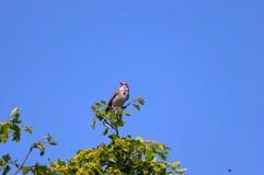 Bunting van het graan vogel door Kerkini meer. Stock Fotografie