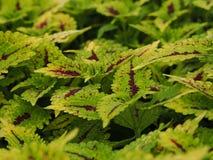 Buntlippe Grüne und Purpurblätter stockfotos