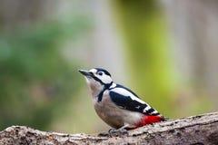 Buntspecht-/Dendrocopos-Major auf einem Baum stockfoto