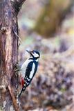 Buntspecht-/Dendrocopos-Major auf einem Baum lizenzfreie stockfotos