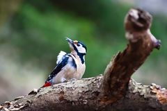 Buntspecht-/Dendrocopos-Major auf einem Baum stockbilder