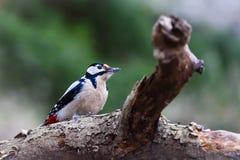 Buntspecht-/Dendrocopos-Major auf einem Baum stockfotos