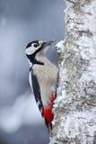 Buntspecht, der auf dem Baumstamm mit Schnee während des Winters sitzt Stockbilder