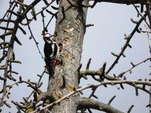 Buntspecht, der gegen einen Baumstamm trommelt stockfoto