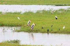 Buntstorchvögel, die nahe bei dem Wasser ruhig stehen lizenzfreies stockbild