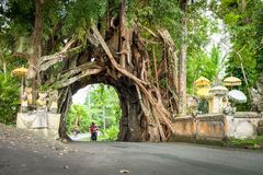 Bunut博隆,巨大巨大的热带与被交织的树隧道曲拱的自然活绿色榕属树根源在走的p的基地 库存图片