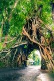 Bunut博隆,巨大巨大的热带与被交织的树隧道曲拱的自然活绿色榕属树根源在走的p的基地 免版税库存图片