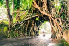 Bunut博隆,巨大巨大的热带与被交织的树隧道曲拱的自然活绿色榕属树根源在走的p的基地 免版税库存照片