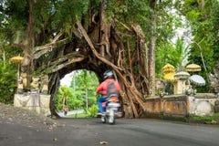 Bunut Bolong, arbre vert vivant de ficus de grande nature tropicale énorme avec la voûte de tunnel de l'arbre entrelacé s'enracin Image stock