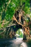 Bunut Bolong, arbre vert vivant de ficus de grande nature tropicale énorme avec la voûte de tunnel de l'arbre entrelacé s'enracin Photo libre de droits