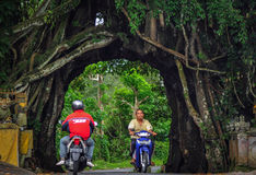 Bunut bolong Bali, Big Banyan Tree. Royalty Free Stock Image