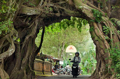 Bunut bolong Bali, Big Banyan Tree. Stock Images