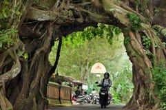 Bunut bolong Bali, Big Banyan Tree. Stock Images