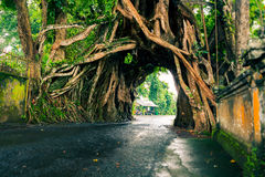 Bunut Bolong, det levande gröna fikusträdet för den stora enorma tropiska naturen med tunnelbågen av det vävde samman trädet rota Royaltyfri Foto