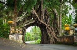 Bunut Bolong: Ficus Drzewny tunel Przy zachód bijącym śladem Zdjęcie Royalty Free