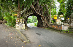 Bunut Bolong: Ficus Tree Tunnel At West Off-Beaten Track. WEST Bali retains some potential eco-tourism objects worth visiting. One of them is the Bunut Bolong Stock Images