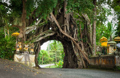Bunut Bolong: Ficus Tree Tunnel At West Off-Beaten Track Royalty Free Stock Photo