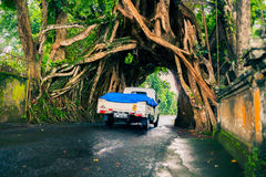 Bunut Bolong: Ficus Tree Tunnel At West Off-Beaten Track Stock Photo
