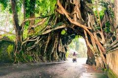 Bunut Bolong: Fikusträdtunnel på det västra Av-slog spåret Royaltyfria Foton