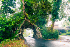 Bunut Bolong, Great Huge Tropical Nature Live Green Ficus Tree With Tunnel Arch Of Interwoven Tree Roots At The Base For Road Royalty Free Stock Image