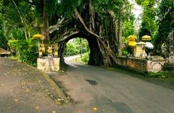 Bunut Bolong: Tunnel dell'albero di ficus alla pista Fuori battuta ovest Fotografia Stock Libera da Diritti