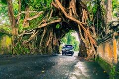 Bunut Bolong: Tunnel dell'albero di ficus alla pista Fuori battuta ovest Immagine Stock Libera da Diritti
