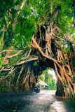 Bunut Bolong, Wielkiej ogromnej tropikalnej natury Ficus żywy zielony drzewo z tunelu łukiem przetkany drzewo zakorzenia przy baz Zdjęcie Royalty Free